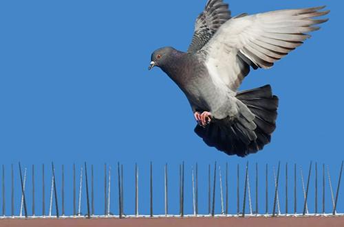 pigeon volant au-dessus de pics anti-pigeons